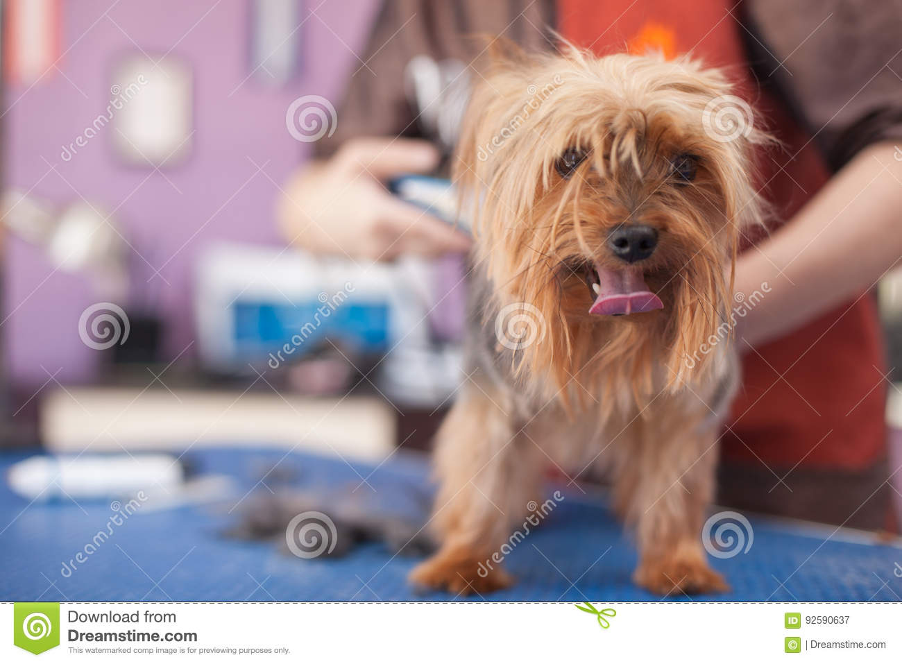 Salon Grooming Haircut Yorkshire Terrier Stock Image Image Of