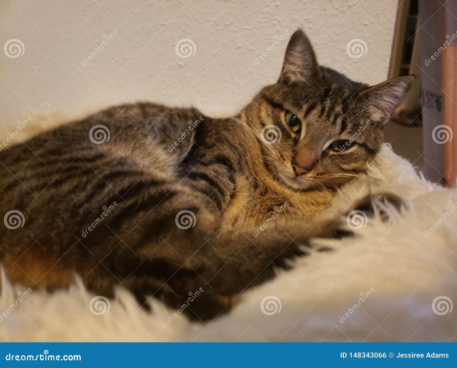 Salons de chat tigré sur la couverture blanche brouillée