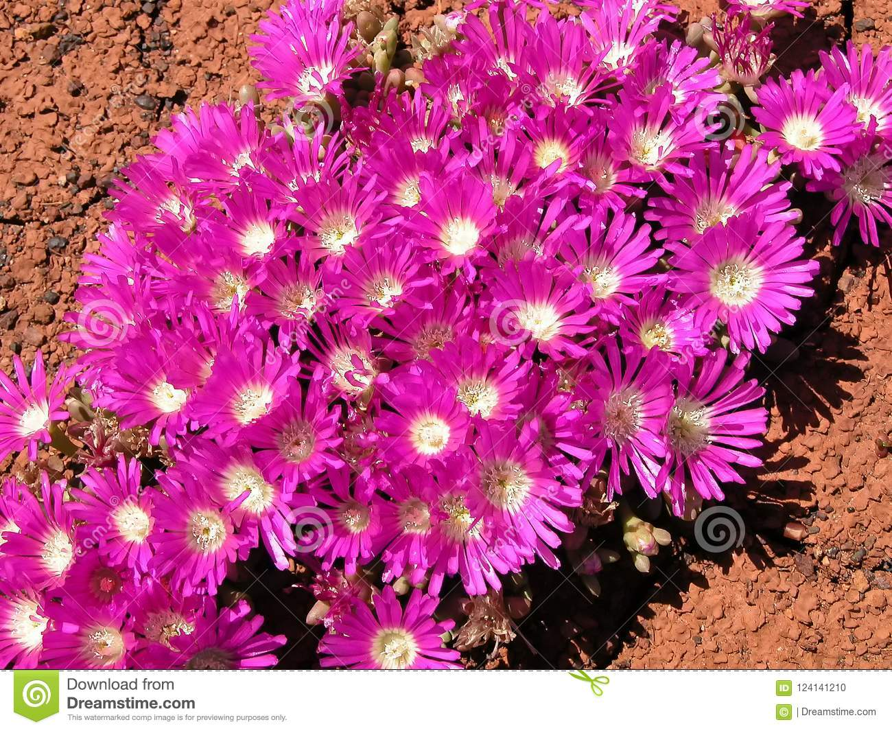 Salt lake succulents pink flowers stock photo image of lakes download salt lake succulents pink flowers stock photo image of lakes flowers 124141210 mightylinksfo