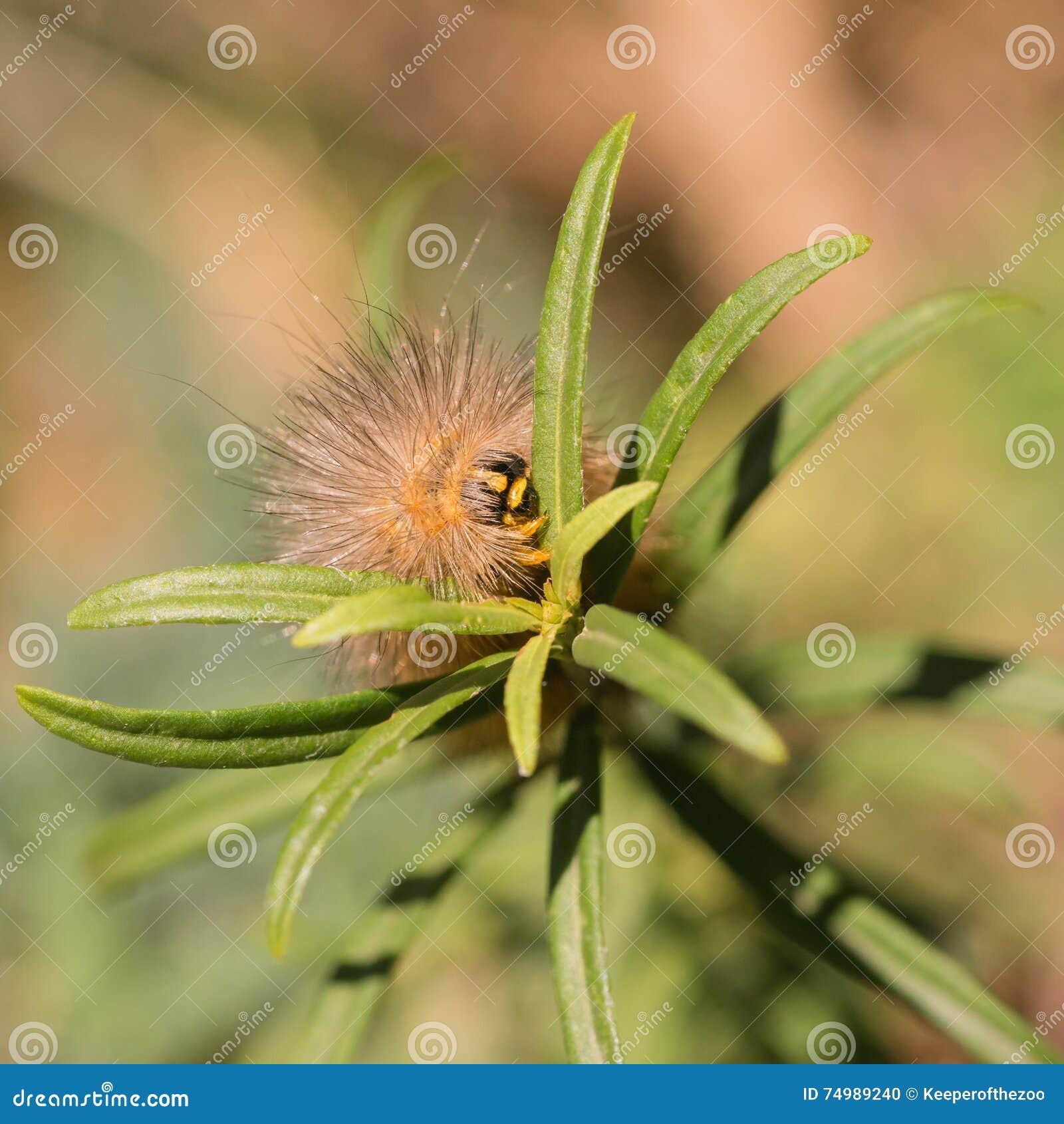 Salt Marsh Moth Caterpillar