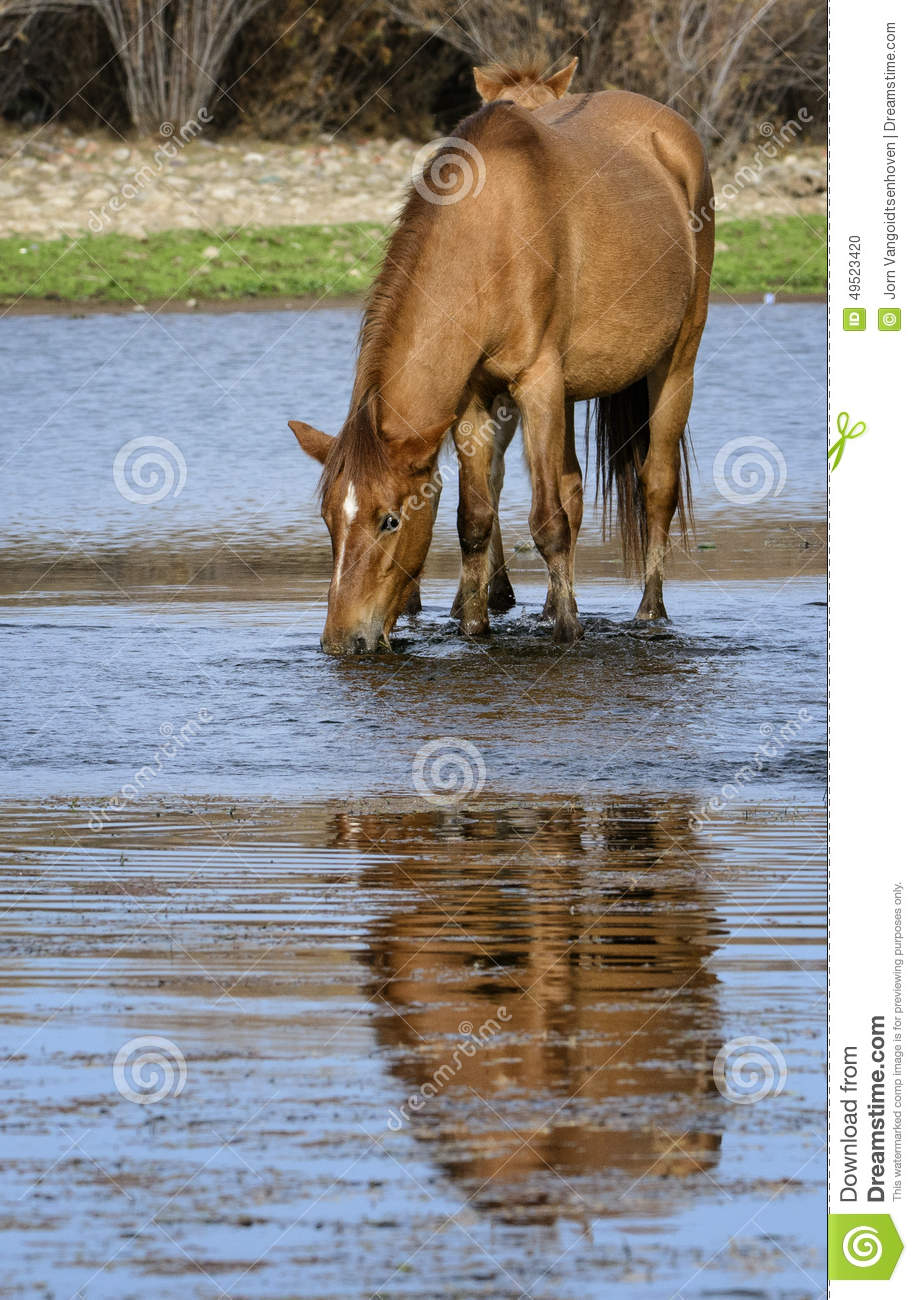 Salt River wild horse drinks with reflection