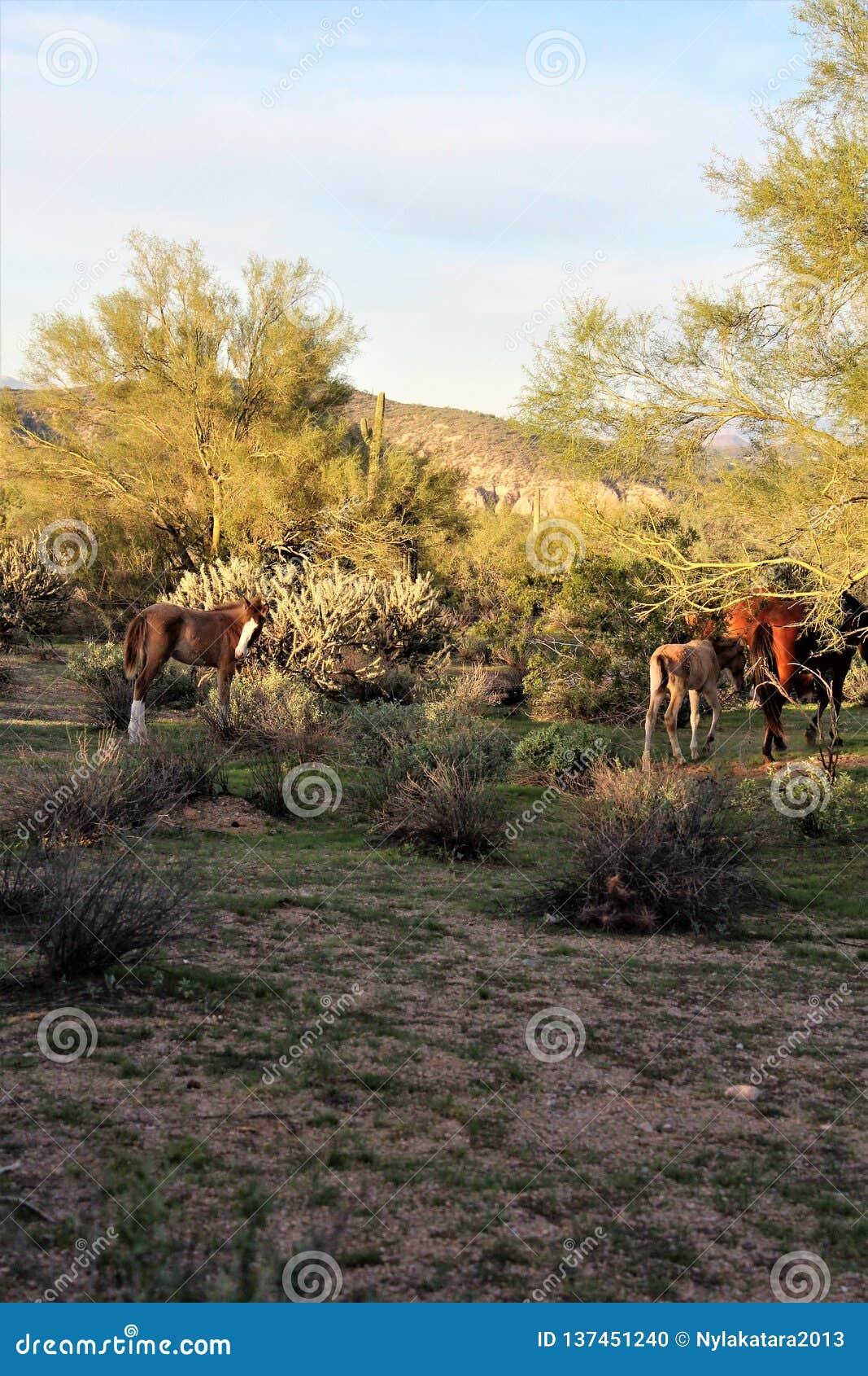 Salt River wild horses, in Tonto National Forest, Arizona, United States