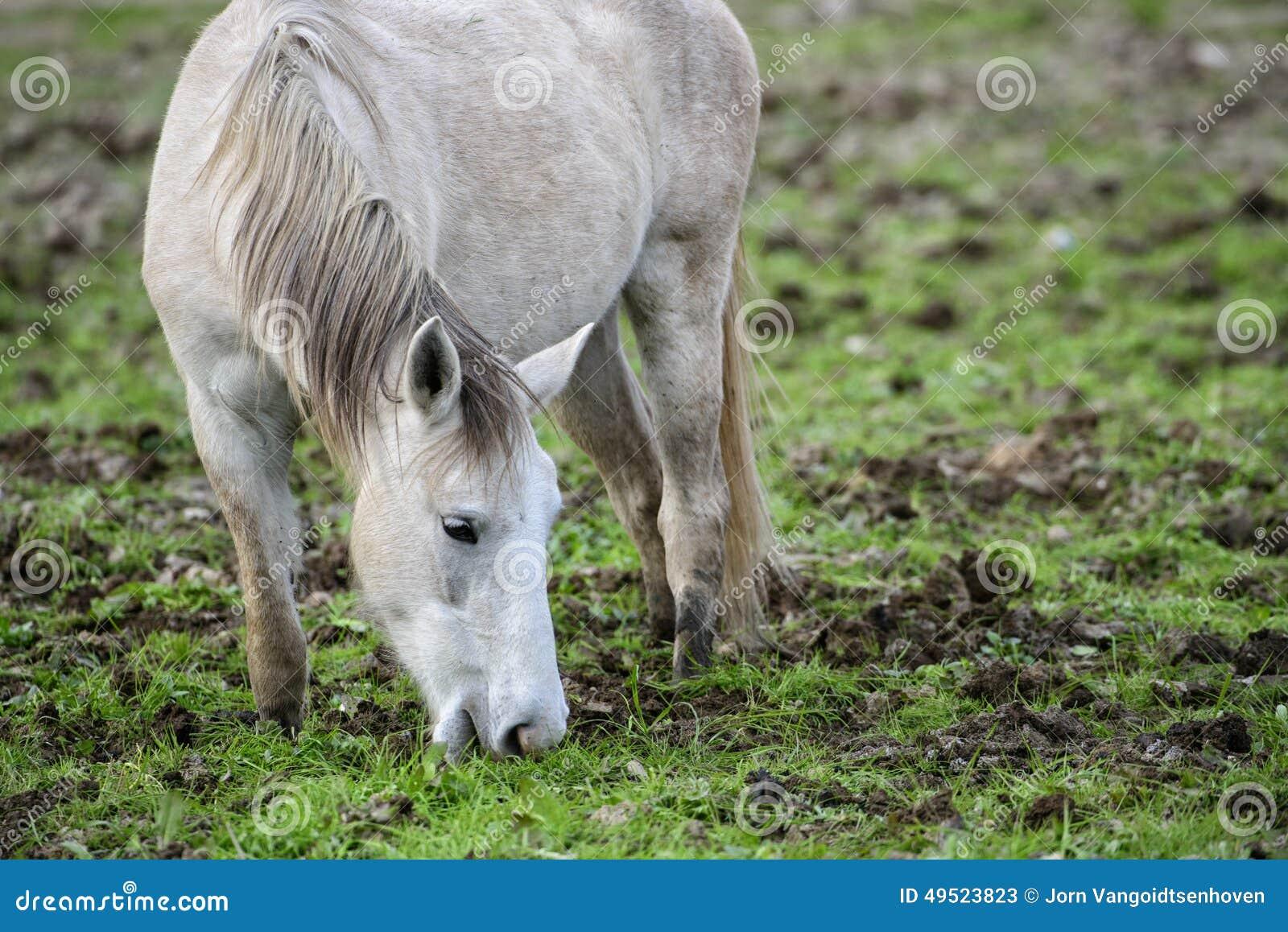 Salt River wilder Pferdeportrait