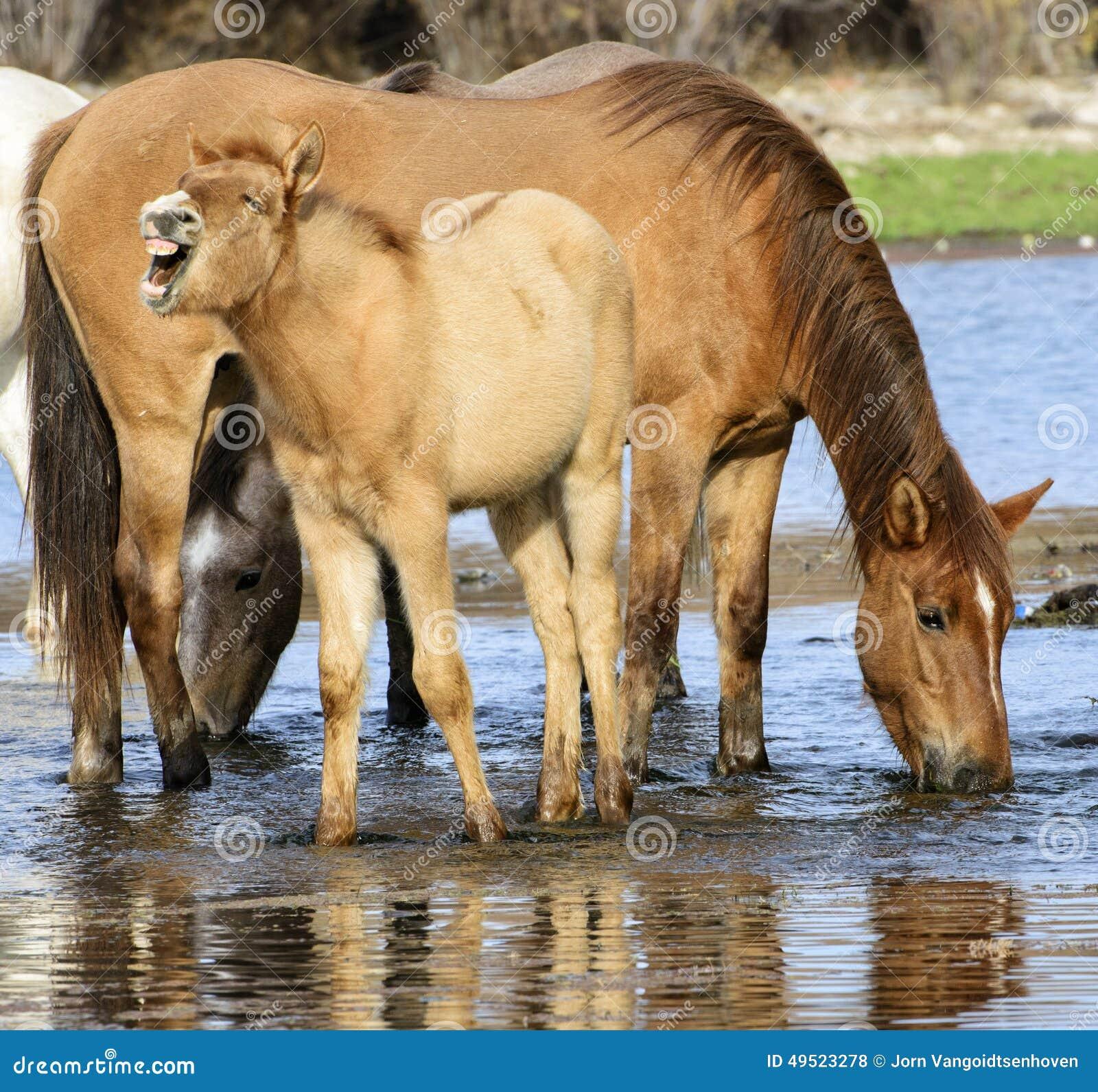Salt River wildes Pferdecoltrufe