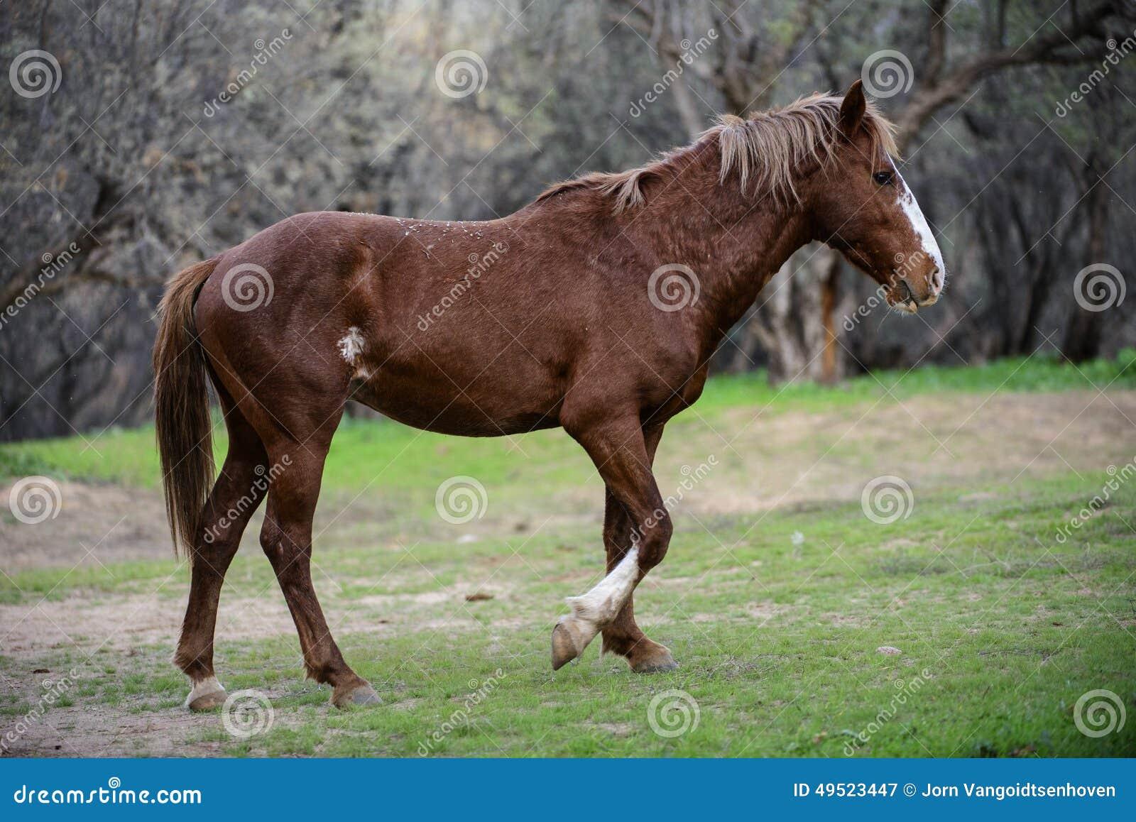 Salt River wildes Pferdegehen