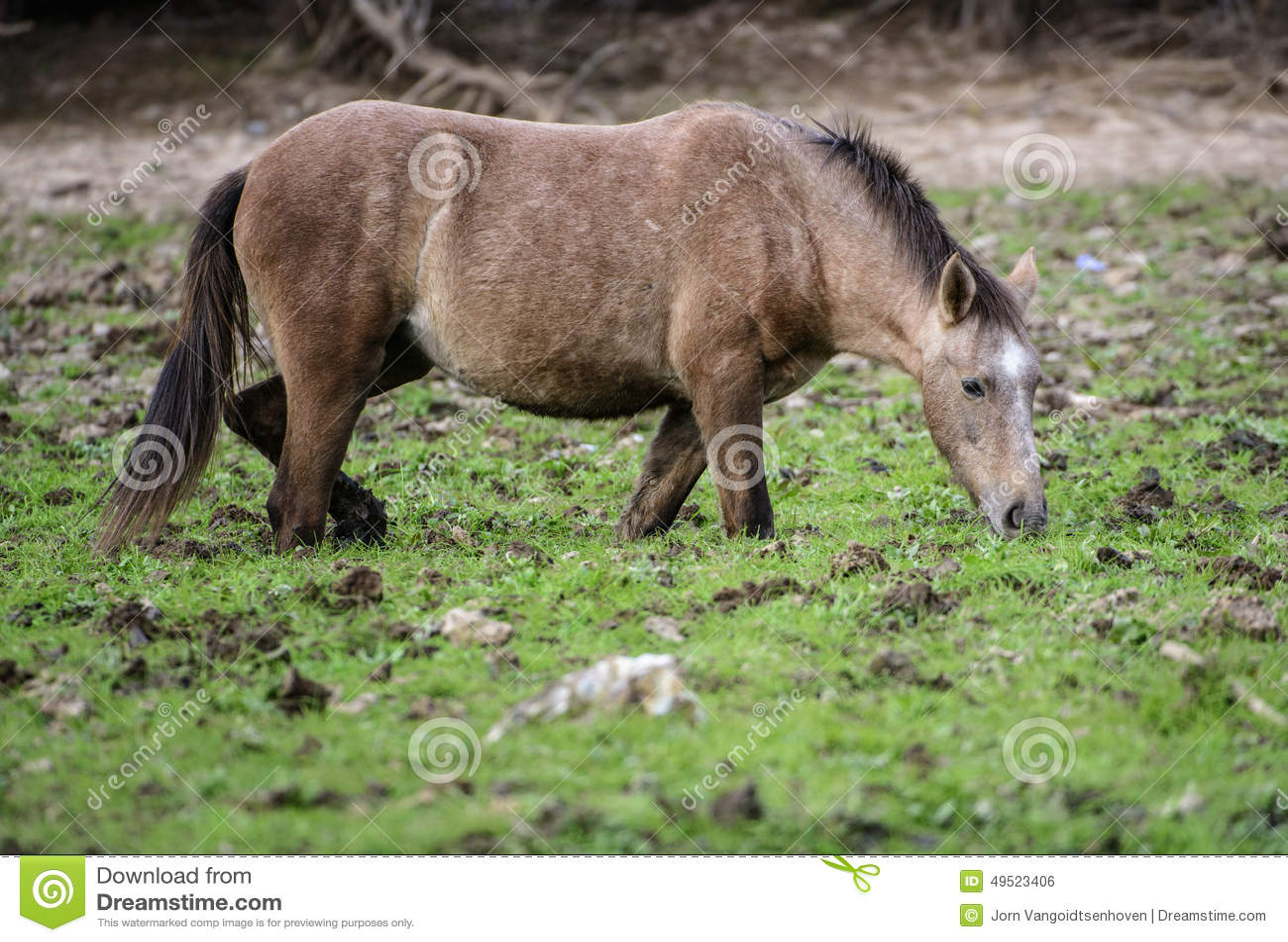 Salt River wildes Pferdeknöchel tief im Schlamm