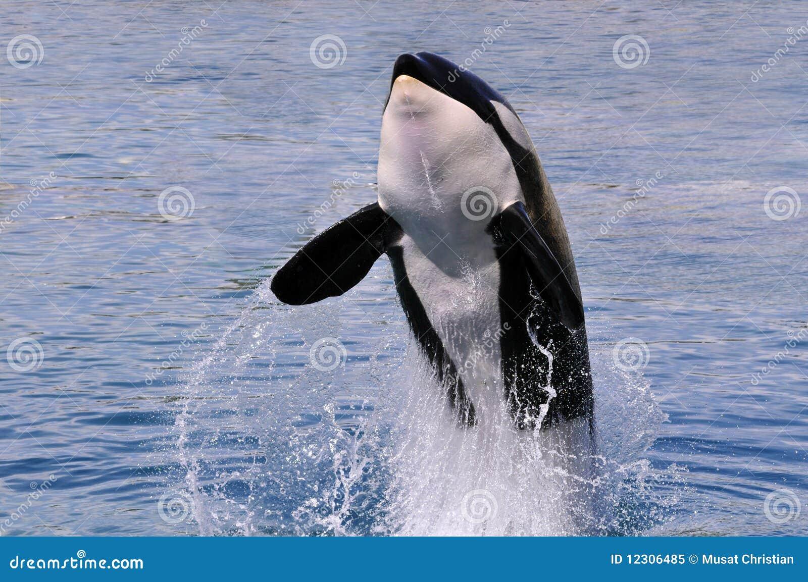 Saltar da baleia de assassino da água