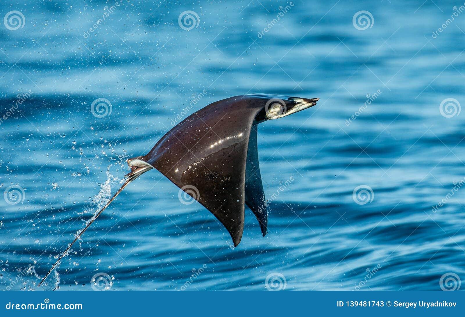 Saltare del raggio della mobula dell acqua Mobula munkiana, conosciuto come la manta de monk, raggio di diavolo di Munk, raggio d