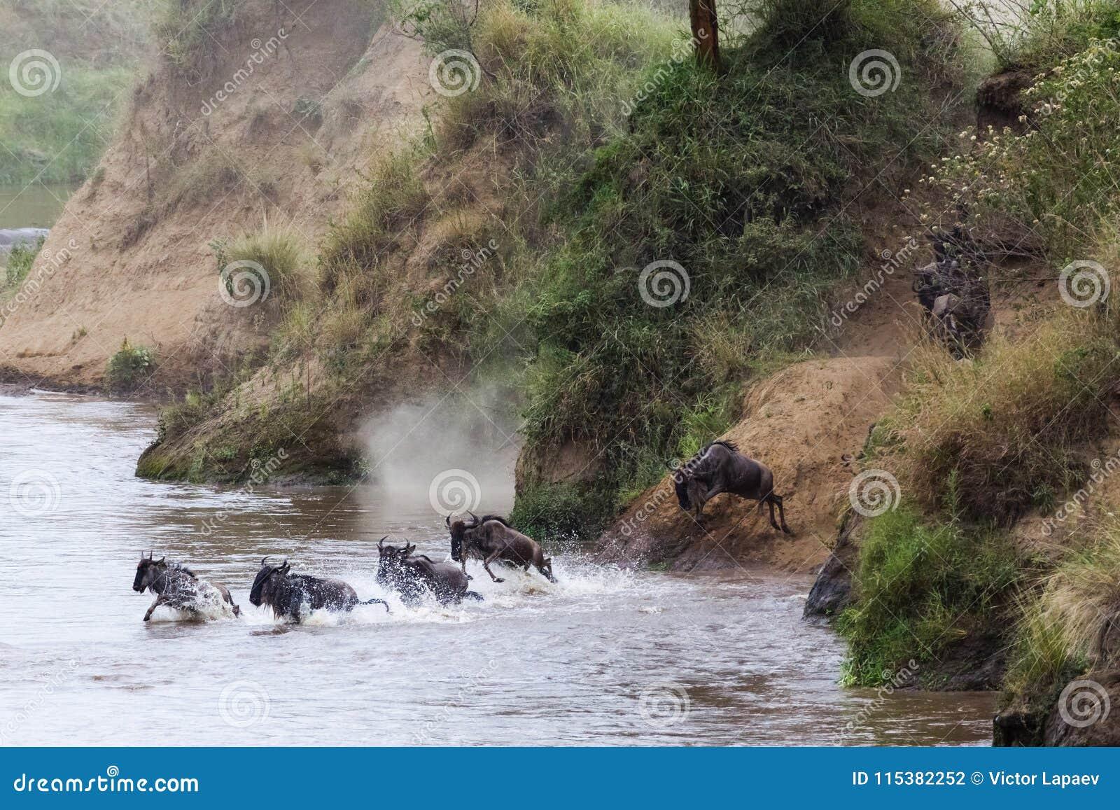 Salto de un banco escarpado al río Gran migración en la acción Kenia, África