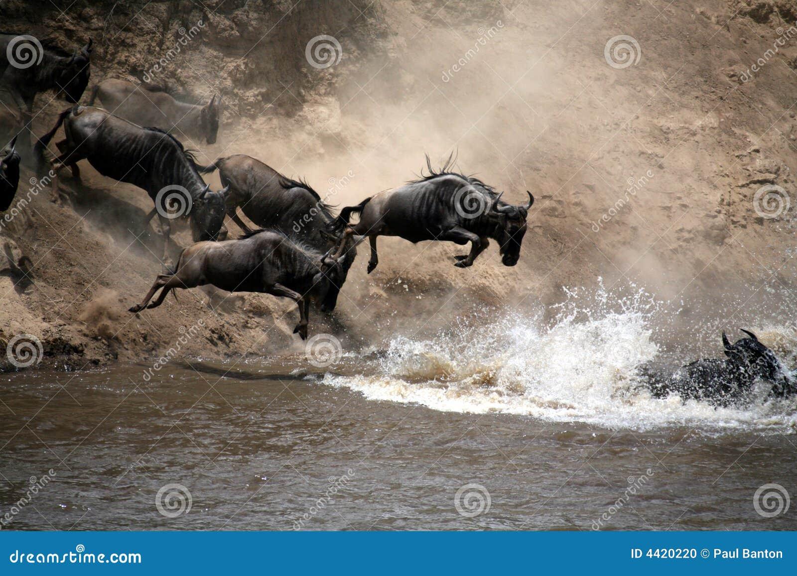 Salto del Wildebeest di fede (Kenia)