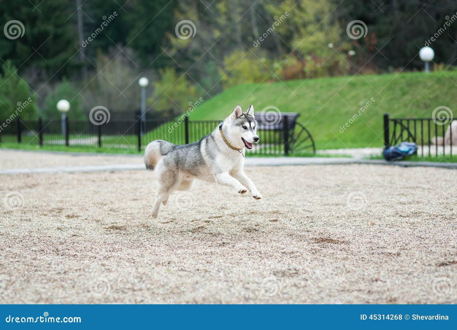 Salto do cão de puxar trenós