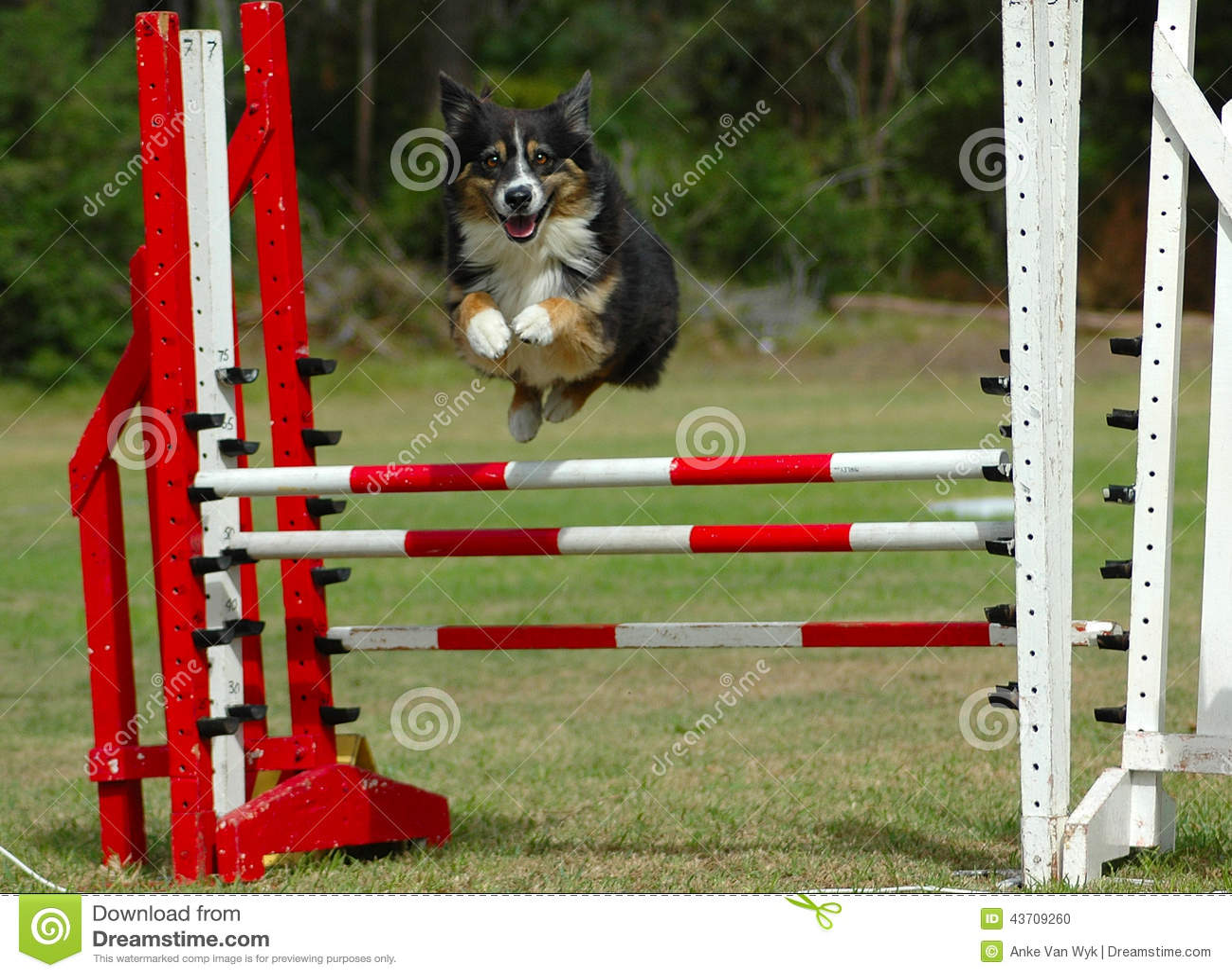 Salto entusiasmado do cão da agilidade