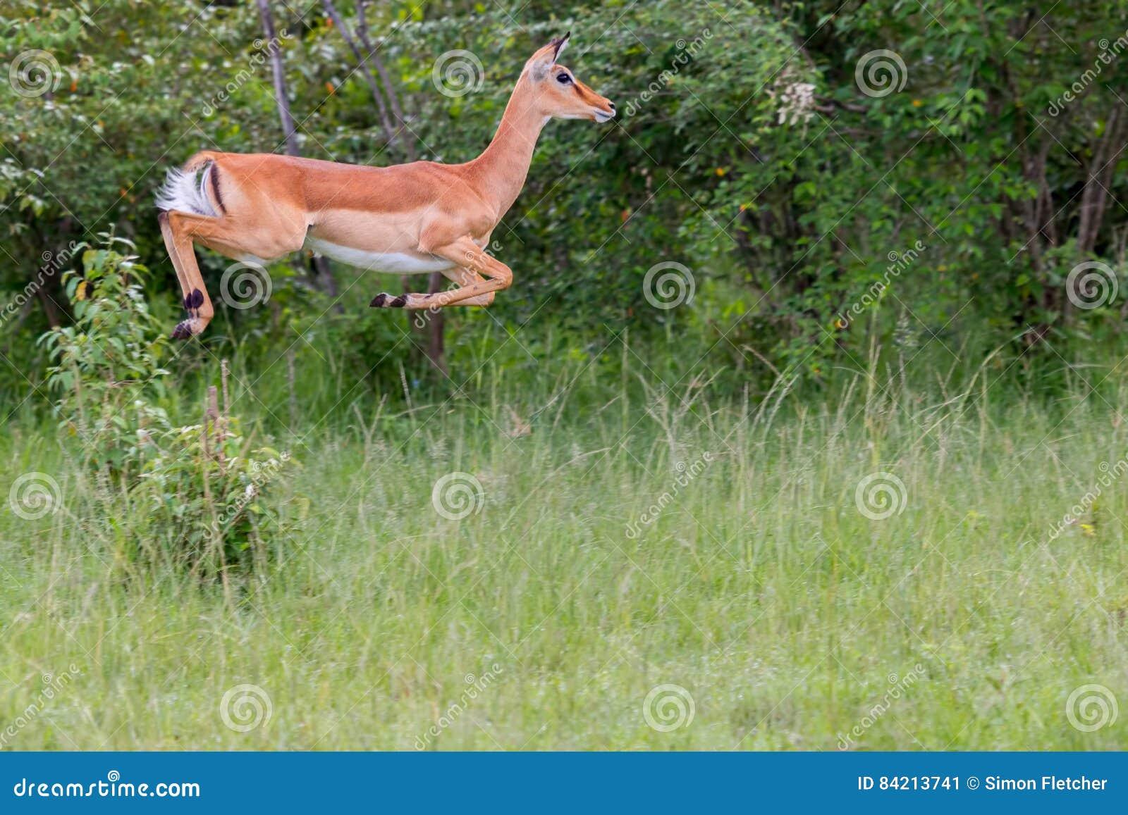 Salto fêmea da impala