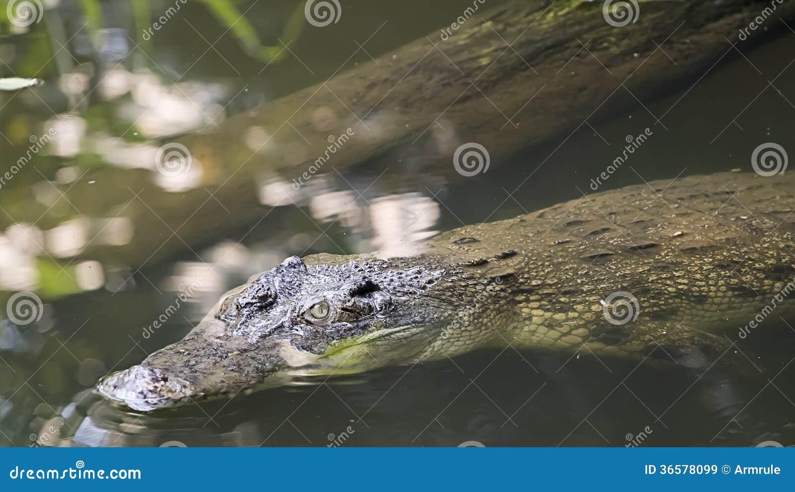 största krokodilen