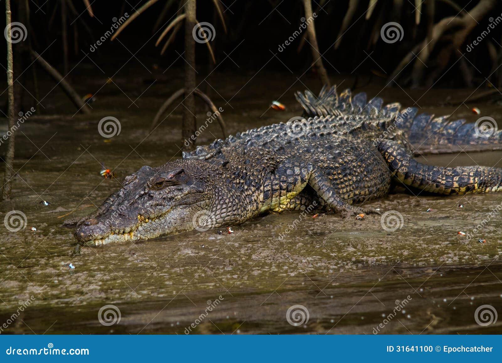 Saltvattens- krokodil (Crocodylusporosusen)