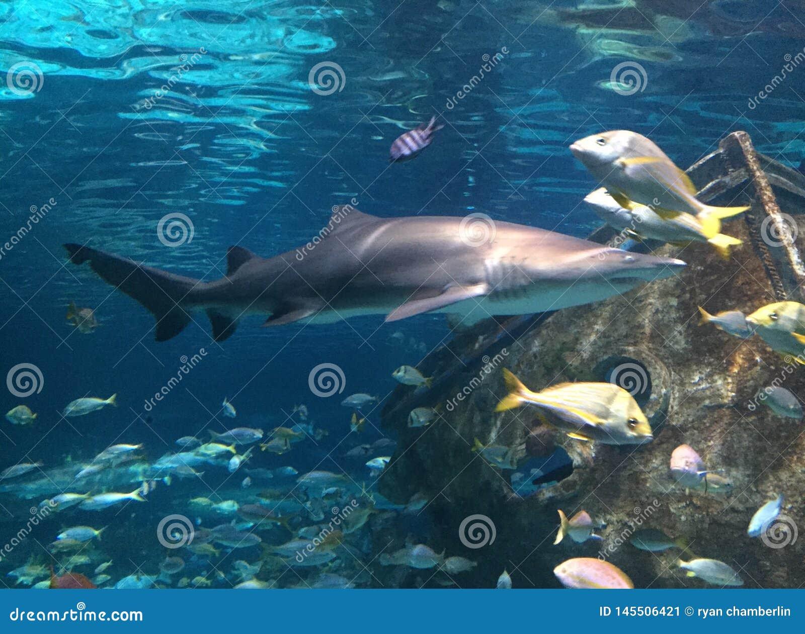 Saltwater νερού ενυδρείων ψαριών εξωτικός καρχαρίας koi