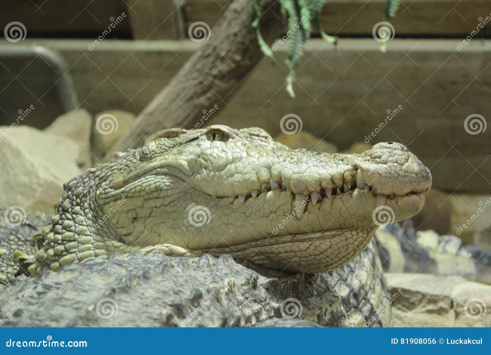 Saltwater Crocodile Stock Photo Image Of Muzzle Nourishment 81908056