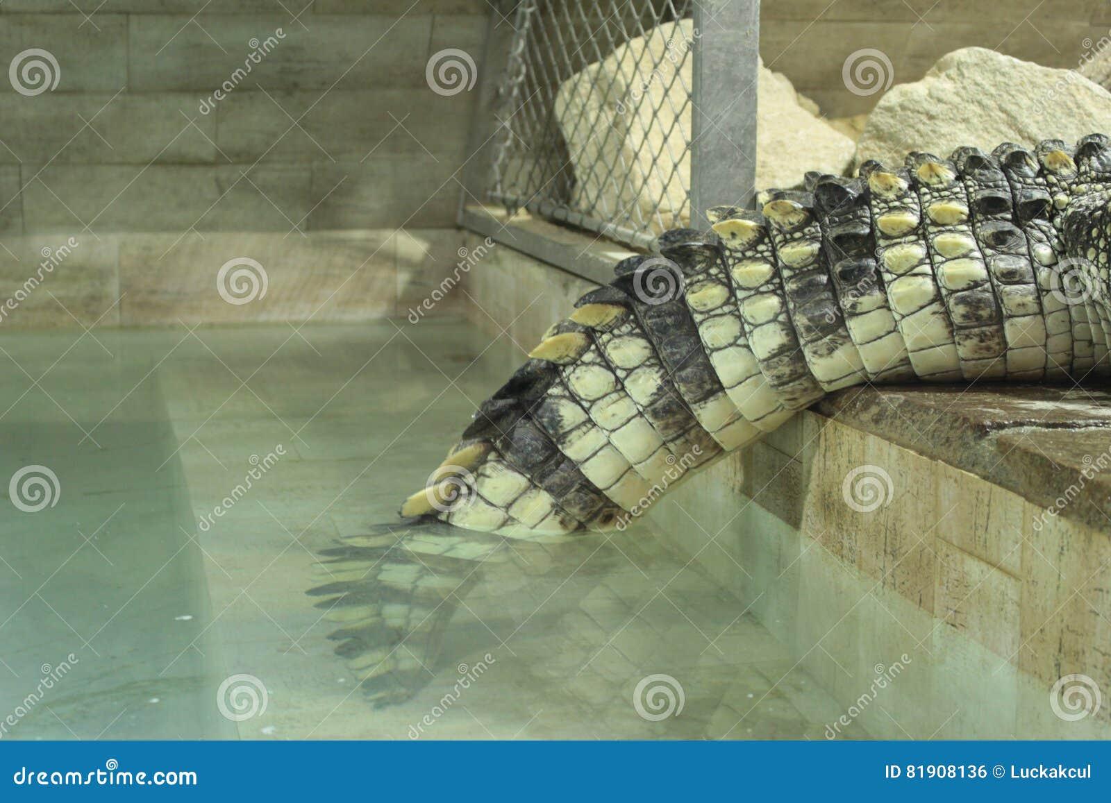 Saltwater Crocodile Tail Stock Photo Image Of Crocodile 81908136