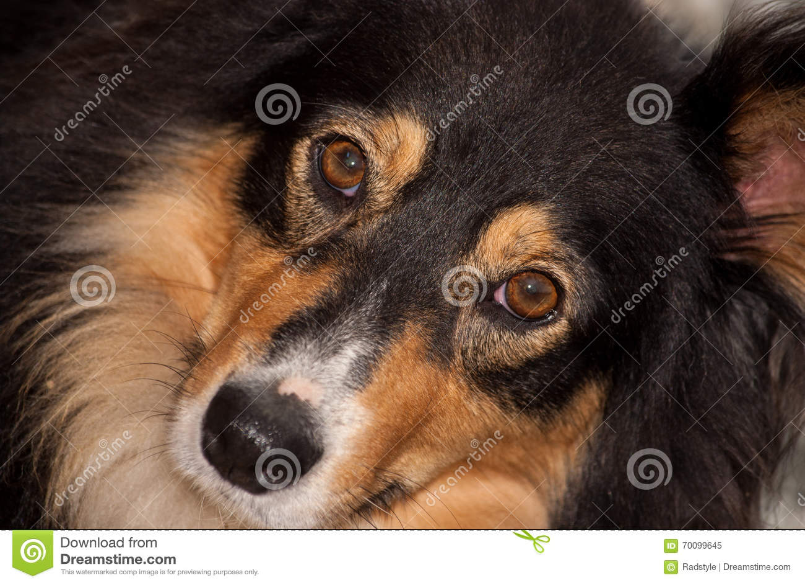 Saluki Cross Breed Full Frame Face Stock Image - Image of