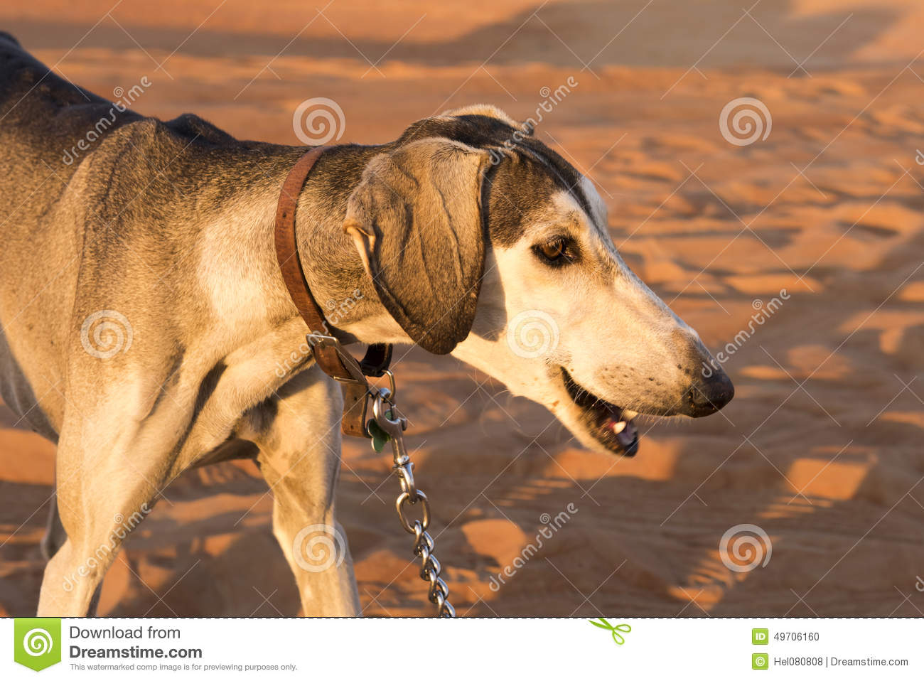 Saluki Dog Stock Photo - Image: 49706160