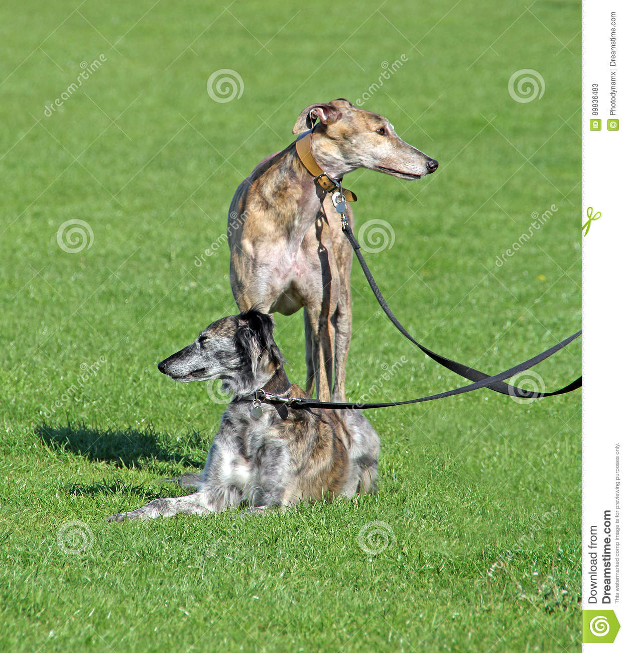 Saluki and greyhound dogs stock image  Image of teamwork - 89836483