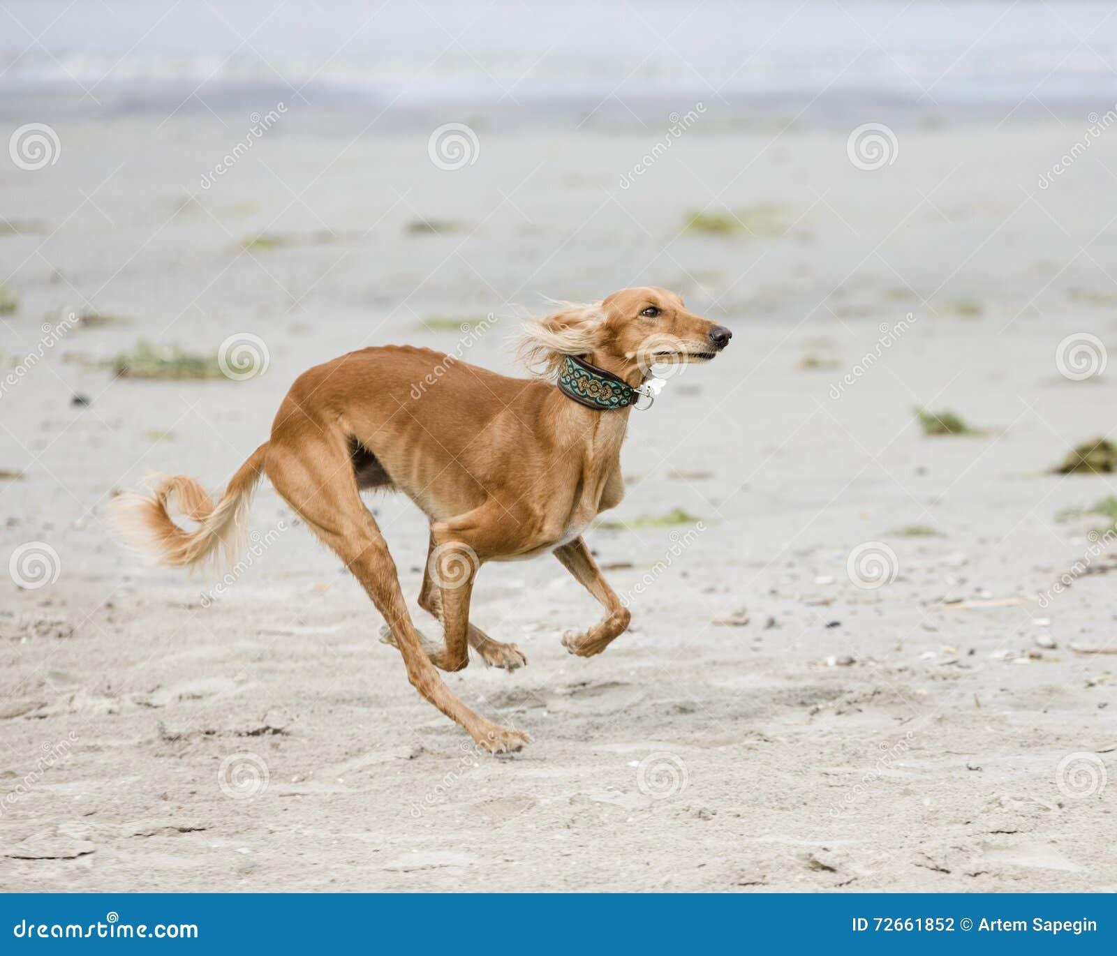 Saluki joue sur une plage
