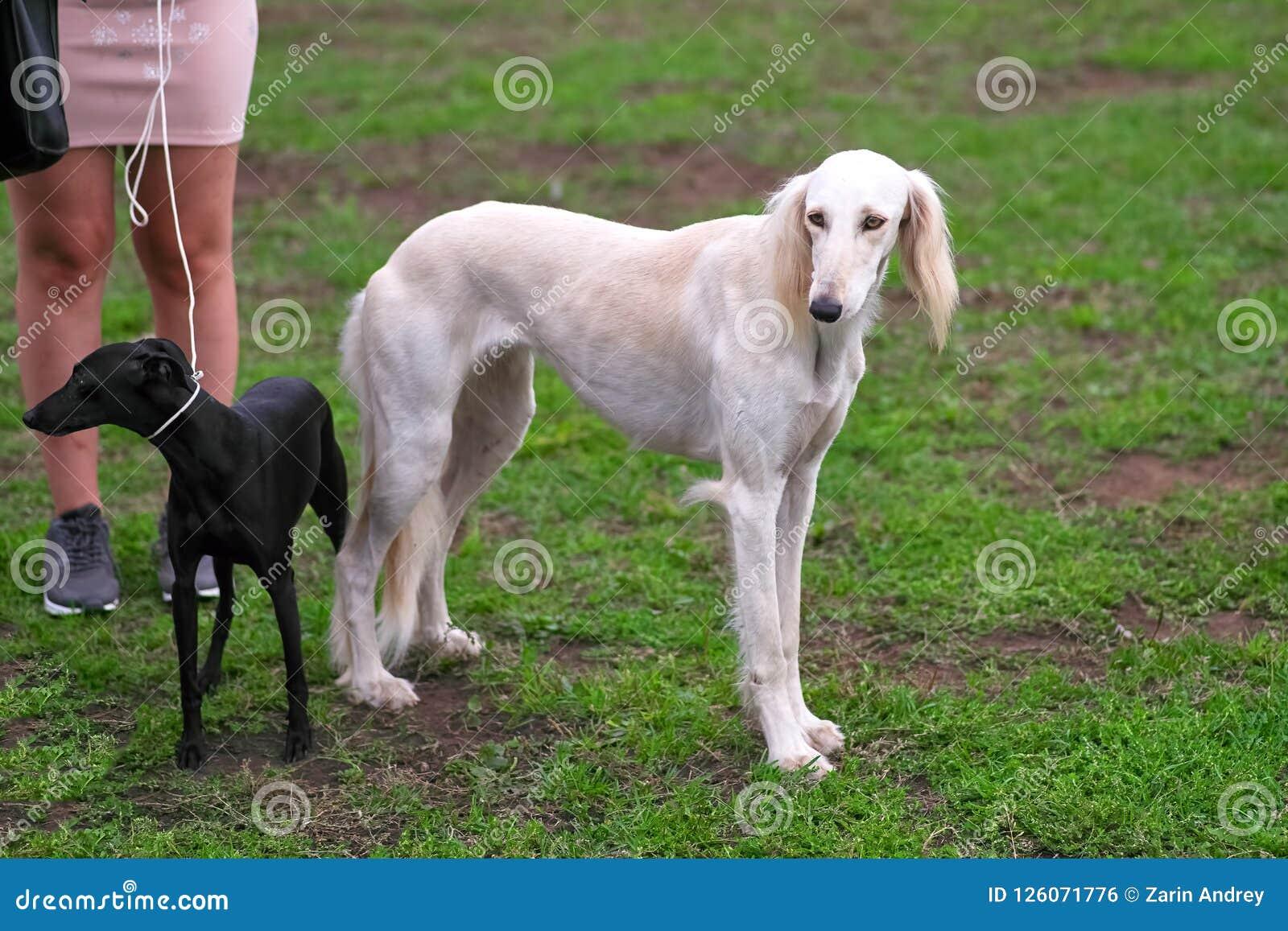 Saluki Persian Greyhound Medium Sized Hunting Dog Close Up Stock Photo Image Of Pointer Male 126071776
