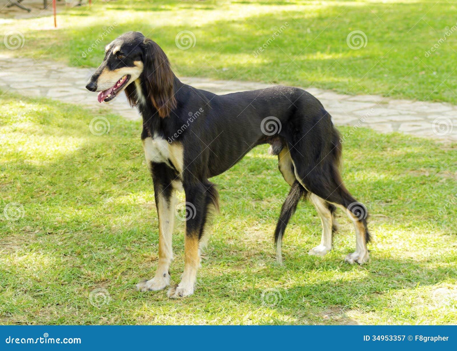 Saluki stock image  Image of coat, afghan, elegant, breed - 34953357