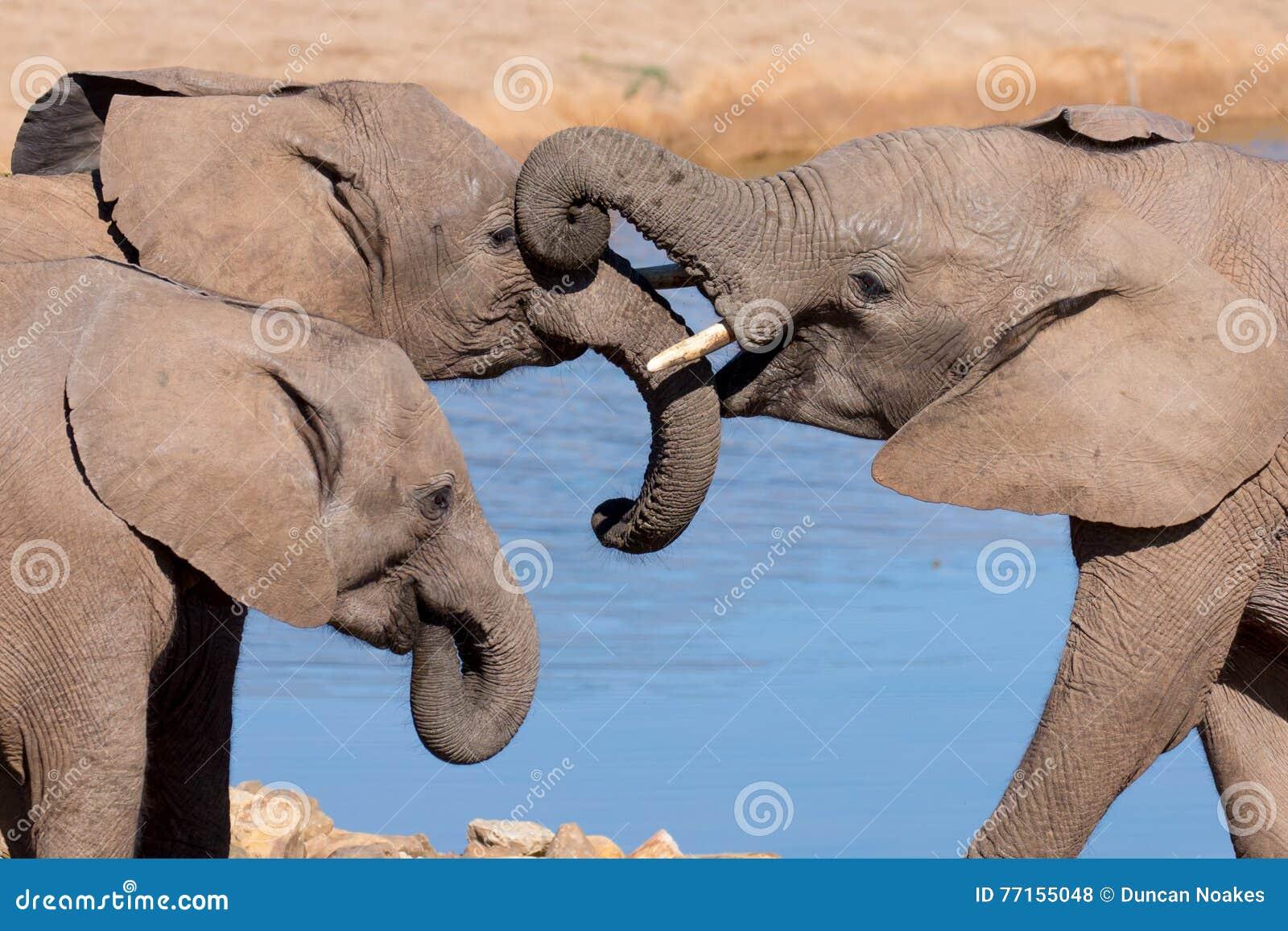 Salutation d éléphant africain