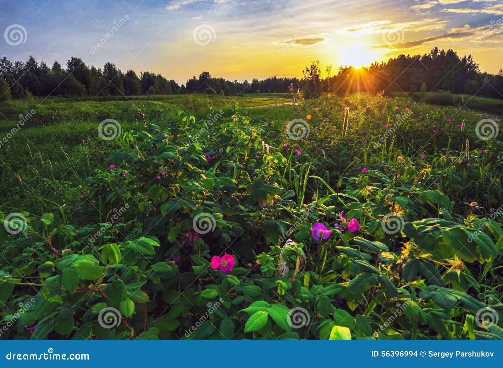 Salvaje subió en la puesta del sol