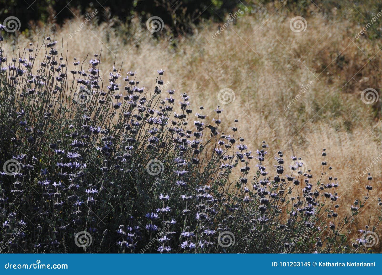 Salvia Clevelandii Purple Sage Flowering-Weide