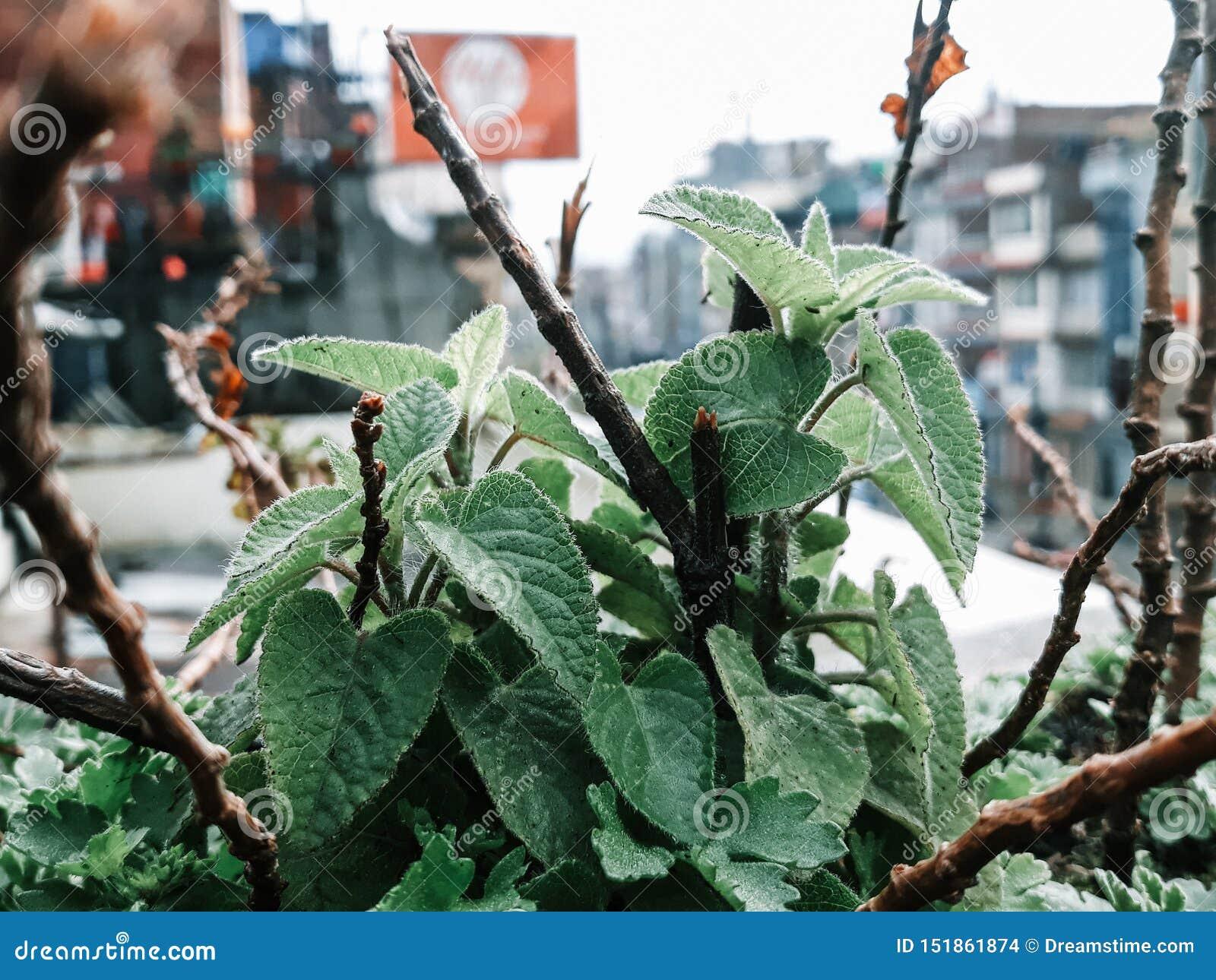 `A Salvia Dorisiana plant `
