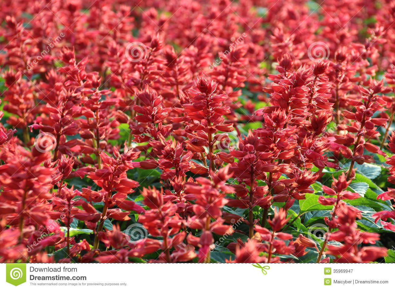 Salvia Flower roja