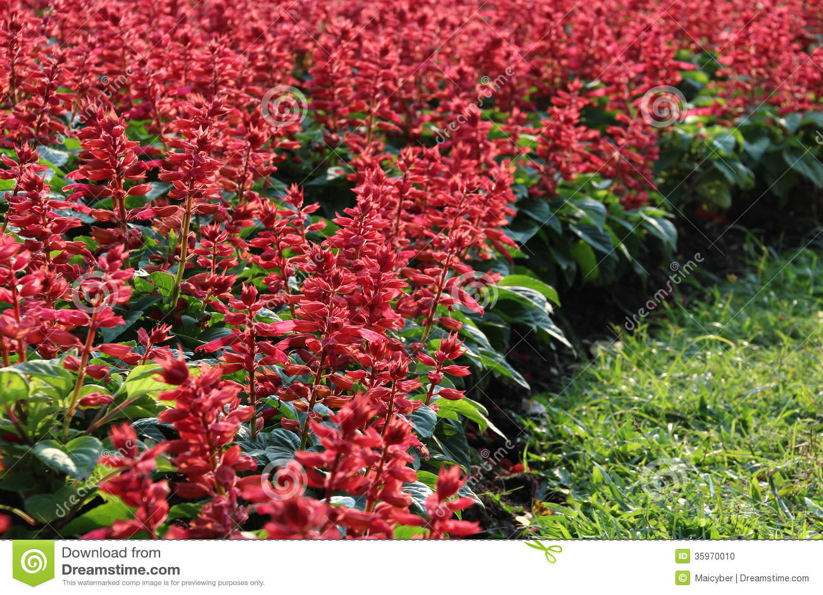 Salvia Flower roja