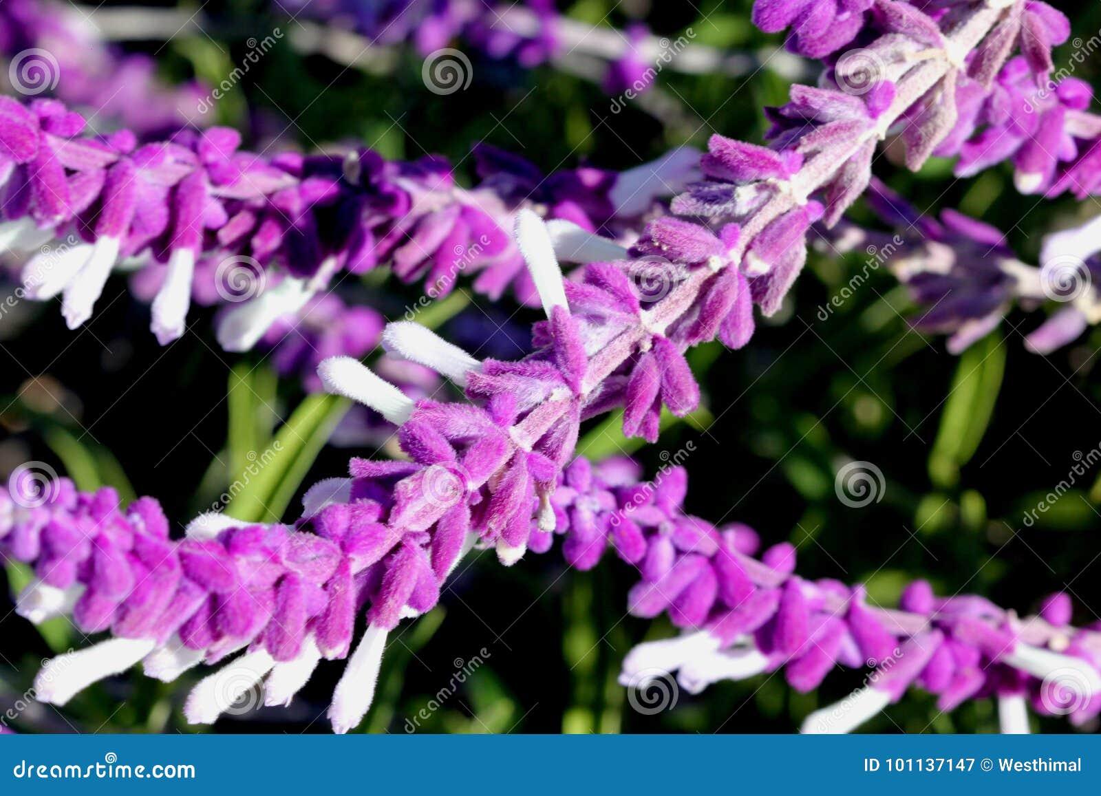 Salvia leucantha, Mexican Sage, Velvet Sage