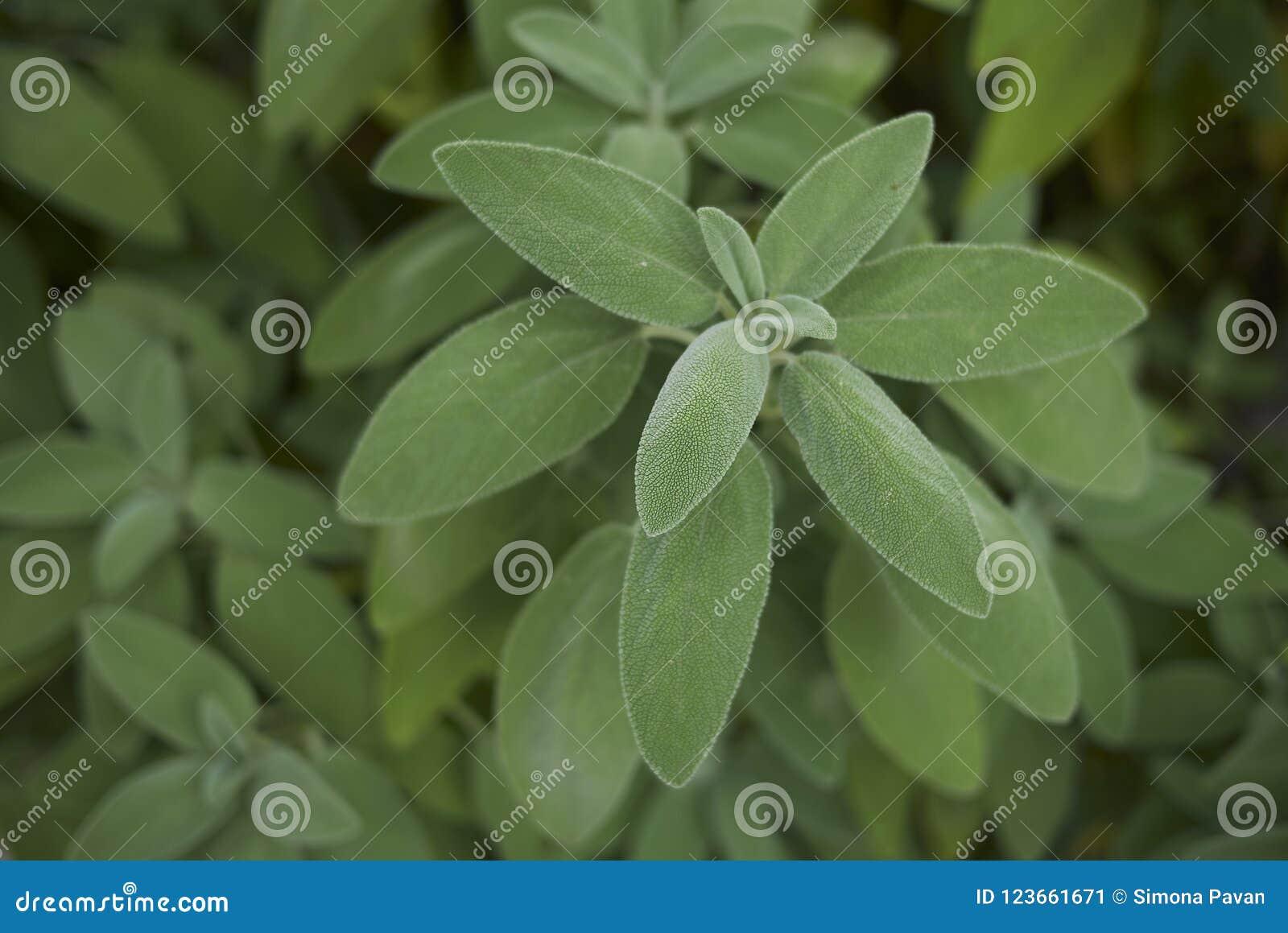 Salvia officinalis plants