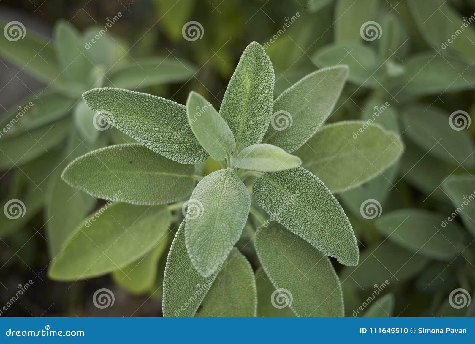 Salvia-officinalis schließen oben