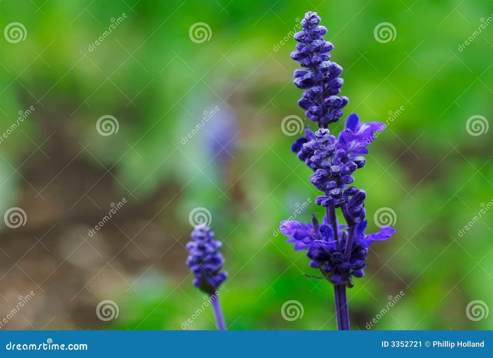 Salvia roxo