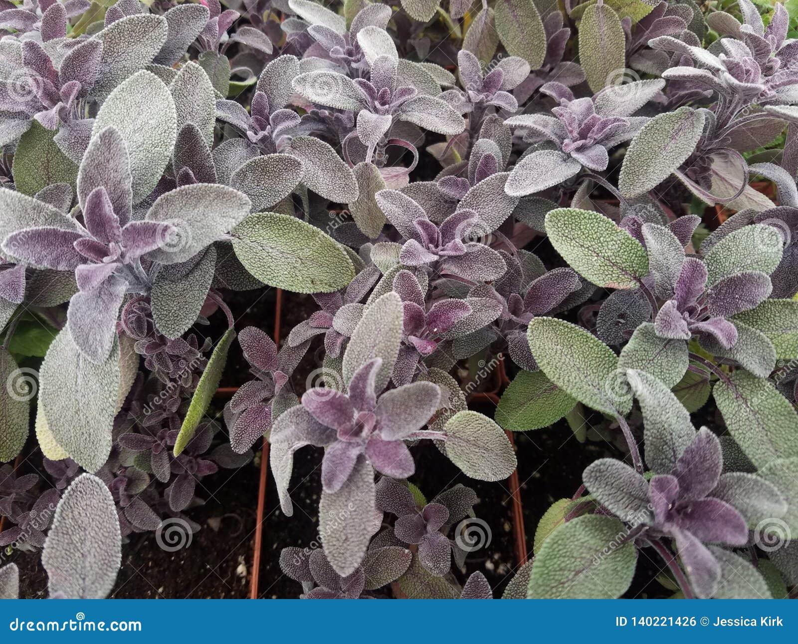 Salvia sabio púrpura de las hierbas