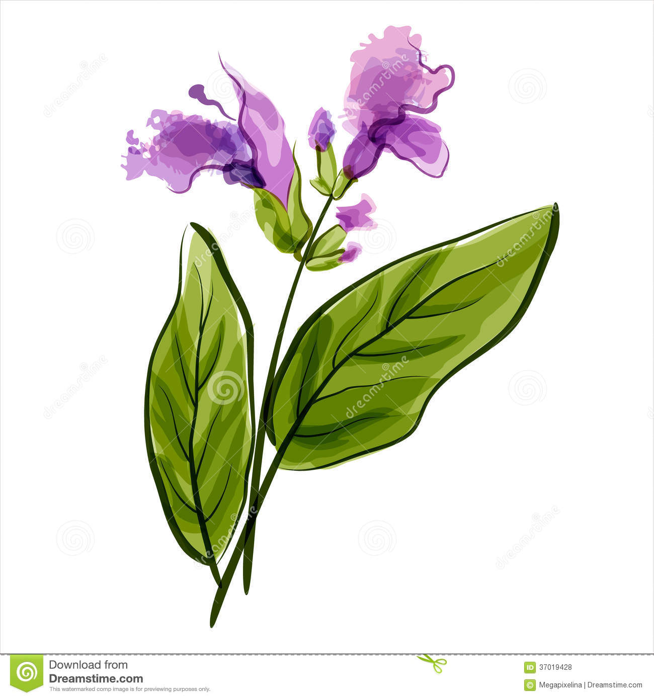 Sage Illustration Salvia. Sage. V...
