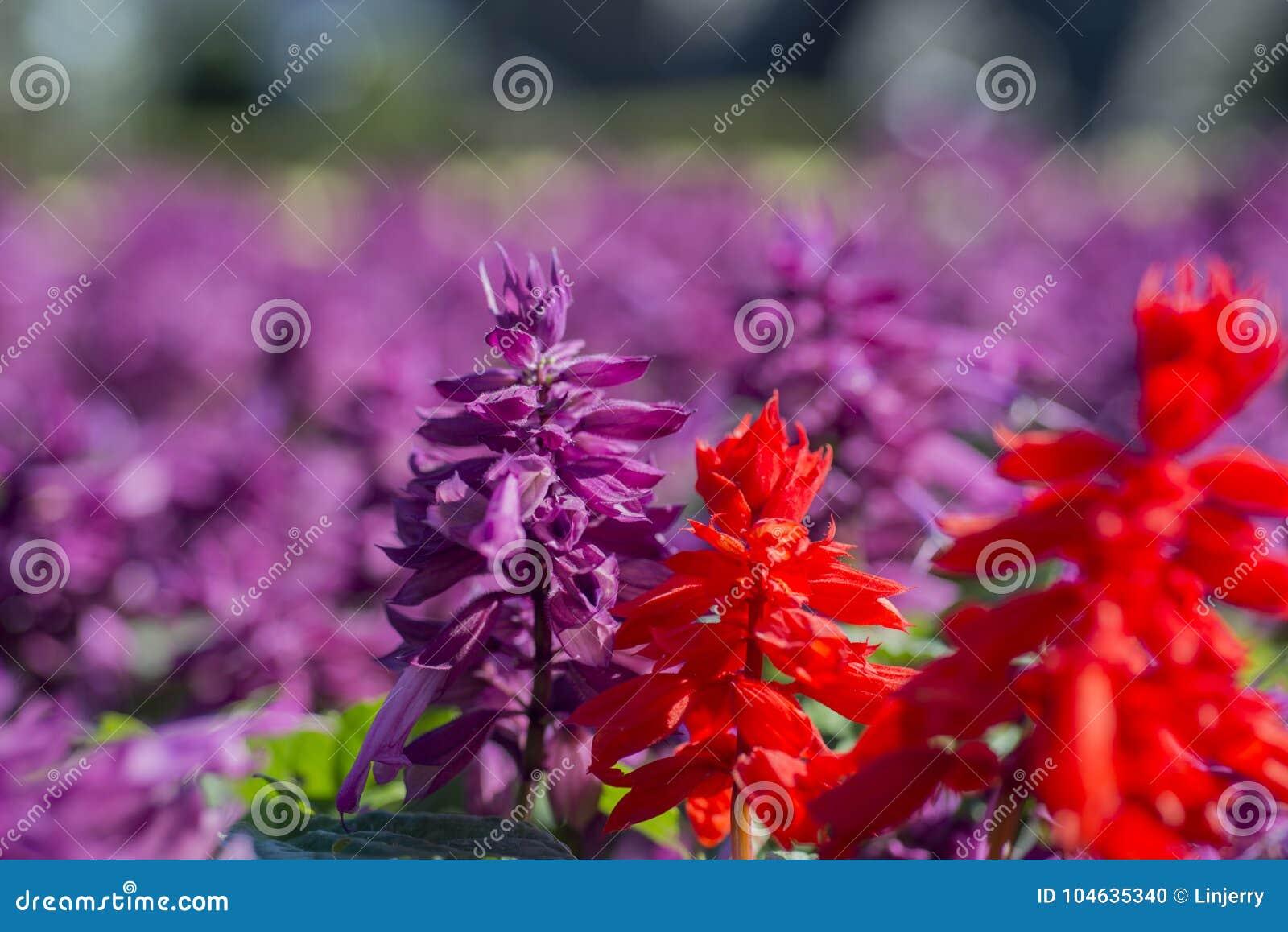 Download Salvia splendens bloem stock foto. Afbeelding bestaande uit park - 104635340