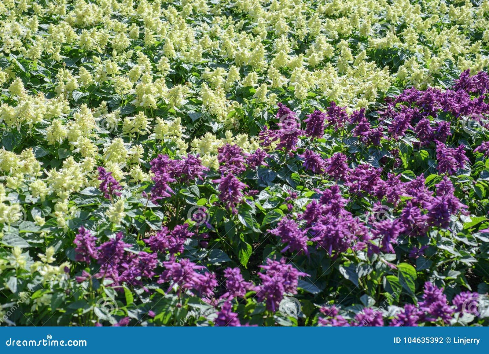 Download Salvia splendens bloem stock foto. Afbeelding bestaande uit licht - 104635392