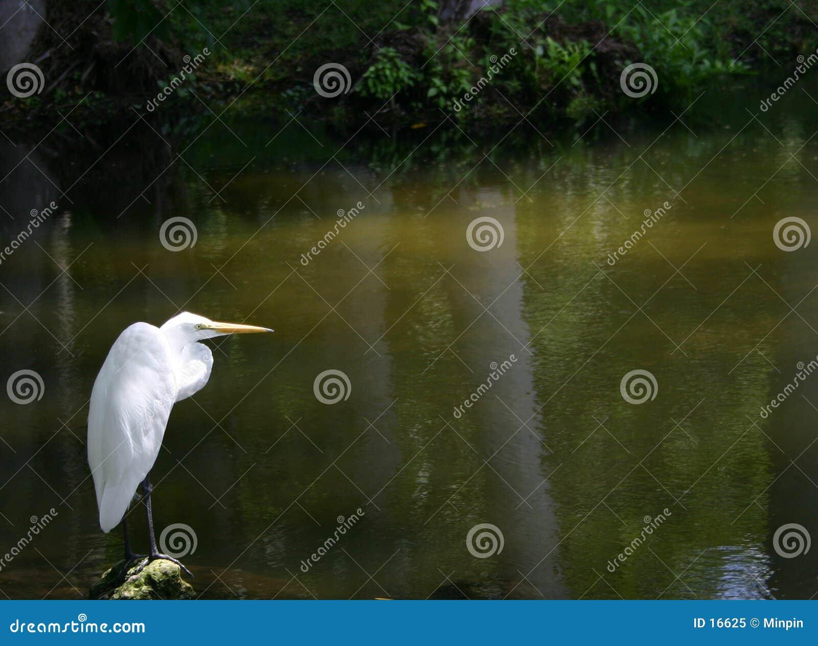 Sam egret