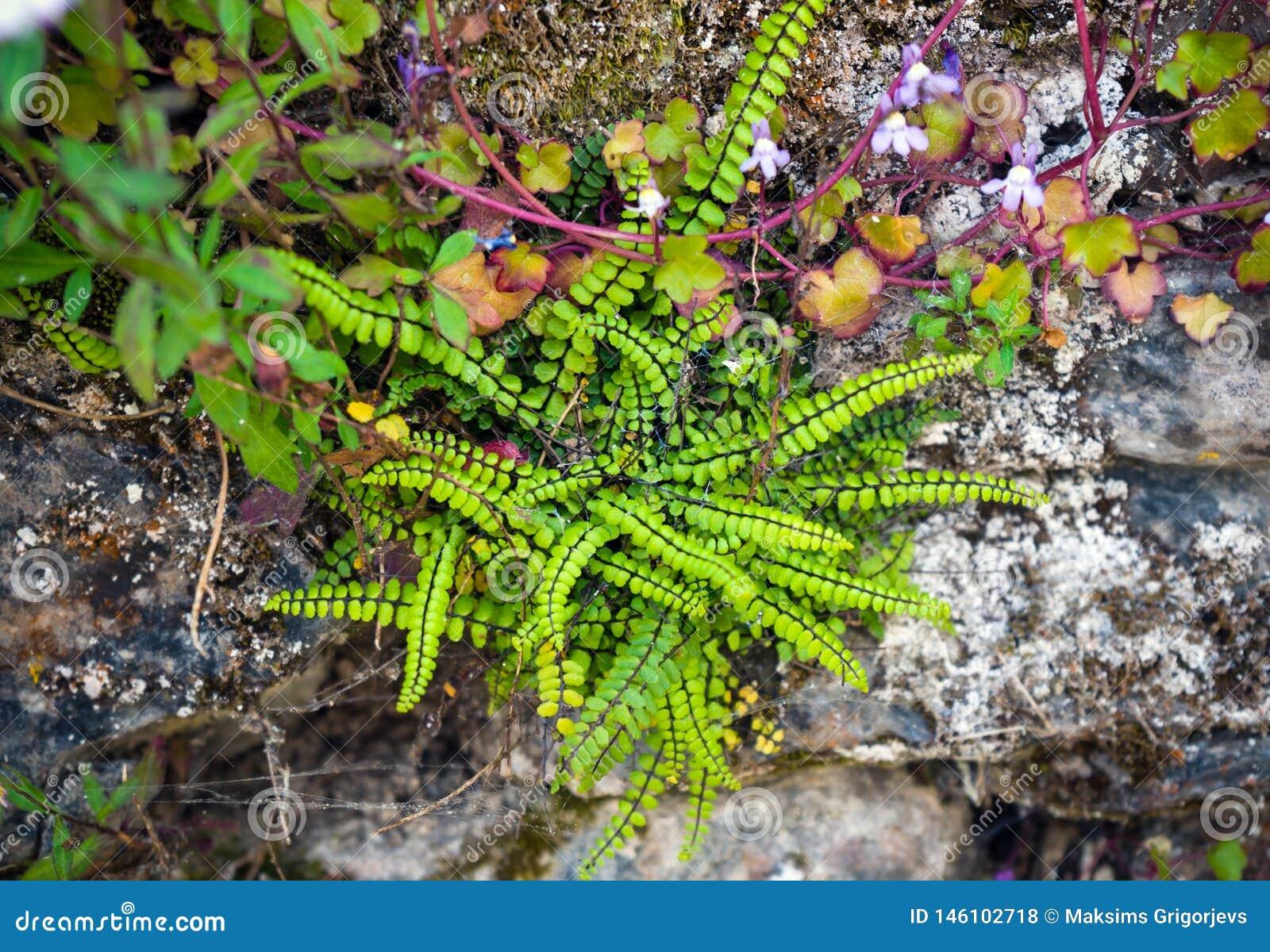 A samambaia e a planta de jardim da rocha, crescem selvagens em uma parede