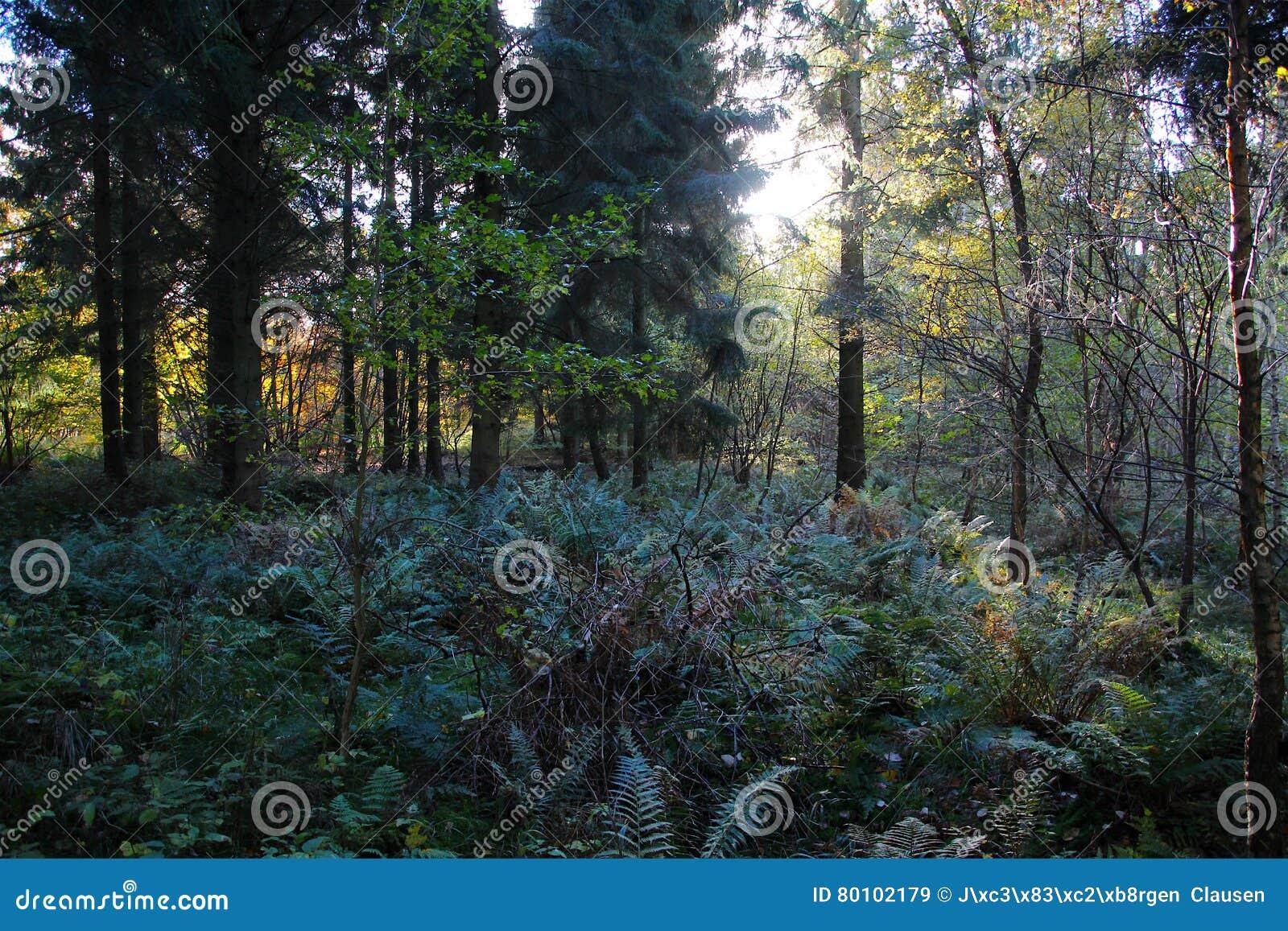 Samambaias da floresta no outono