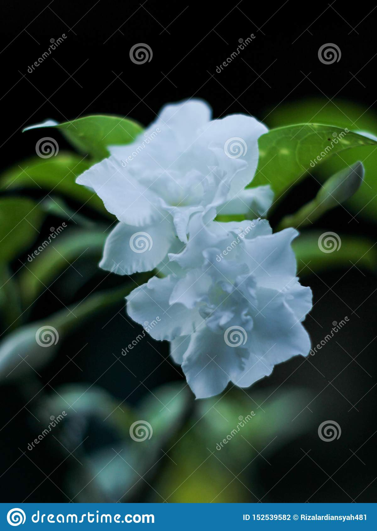 Sambac gemelo del jasminum