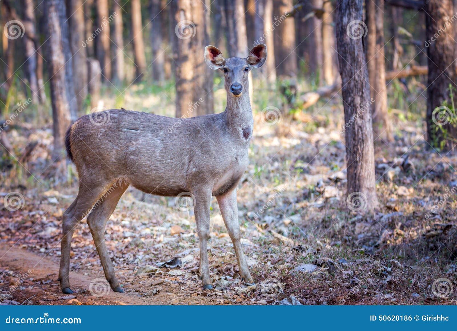 Sambar Deer With Habitat Stock Photo Image Of 450mm 50620186