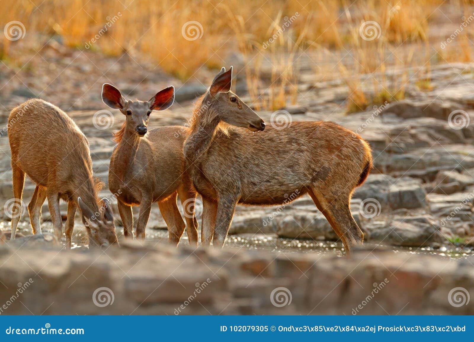 Sambarherten, het éénkleurige, grote dierlijke, Indische subcontinent van Rusa, China, aardhabitat Blaasbalg majestueus krachtig