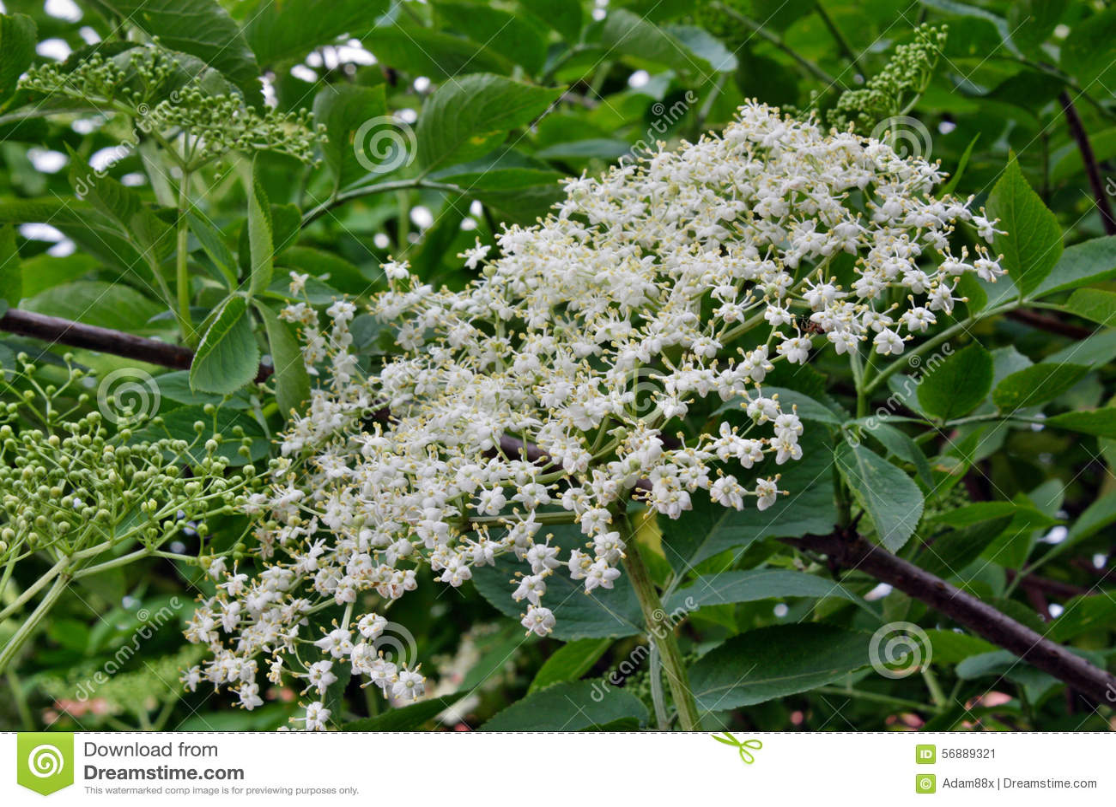 Sambuco di fioritura