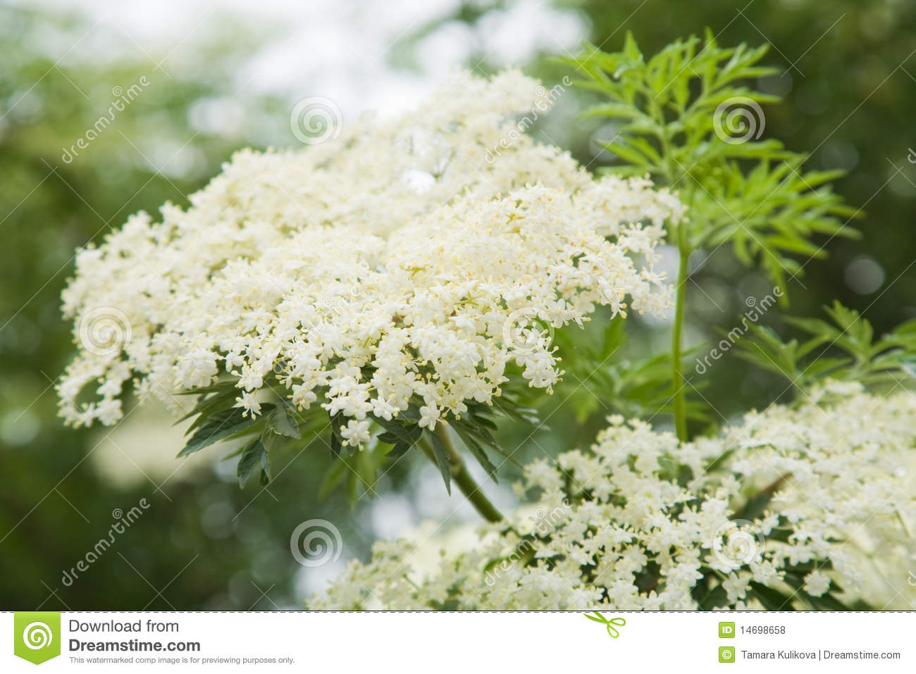 Download Sambucus Nigra; (Black Elder) Stock Photo - Image of sambucus, flowers: 14698658